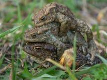 La pirámide de ranas Fotografía de archivo libre de regalías