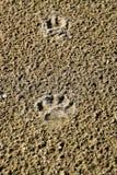 La pista di un cane nella sabbia Un cane stava camminando lungo la spiaggia Fotografie Stock Libere da Diritti