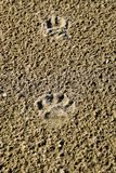 La pista di un cane nella sabbia Un cane stava camminando lungo la spiaggia Immagine Stock Libera da Diritti