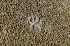 La pista di un cane nella sabbia Un cane stava camminando lungo la spiaggia Fotografia Stock