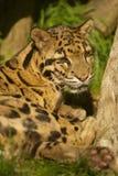 La pista se nubló el leopardo imagen de archivo