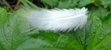 La piuma bianca molle soffia morbidamente nel vento e nella terra sulle foglie verdi Immagini Stock Libere da Diritti