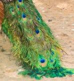 La piuma del pavone sembra verde Fotografia Stock
