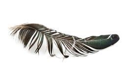 La piuma dell'uccello Fotografia Stock Libera da Diritti