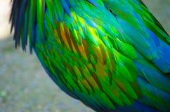 La piuma dell'uccello nicobar del piccione in primo piano Fotografie Stock Libere da Diritti