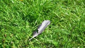 La piuma nera dell'uccello si trova sull'erba stock footage