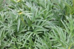 La pivoine de Bush avec le vert laisse l'élevage dans un jardin Photos libres de droits