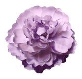 La pivoine de fleur d'aquarelle rose-violette sur un blanc a isolé le fond avec le chemin de coupure nature Plan rapproché aucune photographie stock libre de droits