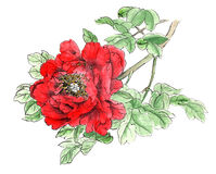 La pivoine peinte à la main décorative magnifique distinguée traditionnelle chinoise d'encre fleurit Images libres de droits