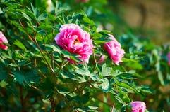La pivoine rose en pleine floraison Photo stock