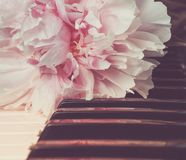 La pivoine rose se trouvant sur des clés de piano Photographie stock libre de droits