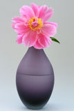 La pivoine s'est levée en pleine floraison Image libre de droits