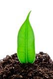 La plántula crece de un suelo fértil se aísla en un blanco Imagen de archivo