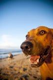 La plage du Samoa de chien de plage apprécient le concept Photos stock