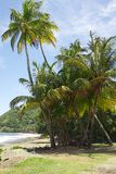 Paumes chez Bay de prince, Tobago Images stock