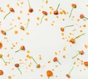 la Plano-endecha del ranúnculo anaranjado florece sobre el fondo blanco Imagen de archivo