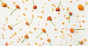 la Plano-endecha del ranúnculo anaranjado florece sobre el fondo blanco, composición ancha Fotos de archivo