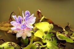 La planta acuática envía las floraciones delicadas para arriba de las aguas vergonzosas Fotografía de archivo libre de regalías