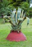 La planta al aire libre crece a través de un pote de arcilla de la arcilla roja, planta turca imagen de archivo
