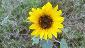 La planta amarilla brillante del girasol fotos de archivo