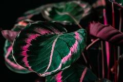 la planta botánica del calathea con verde y rosa se va, fotos de archivo libres de regalías