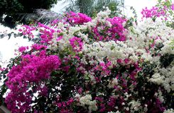 La planta Bougainville y sus flores en la primavera fotos de archivo libres de regalías