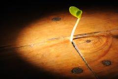 La planta brota el crecimiento en un piso de madera Imagenes de archivo