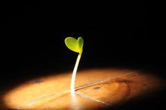 La planta brota el crecimiento en un piso de madera Foto de archivo libre de regalías
