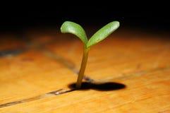 La planta brota el crecimiento en un piso de madera Imágenes de archivo libres de regalías