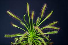 La planta carnívora nombró a Drosera, encontrado a menudo en pantanos Rojo despredador de la capensis del Drosera de la planta ca foto de archivo