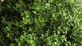La planta casera gira el primer del fondo Primer de giro verde 4k del arbusto o del árbol almacen de metraje de vídeo