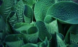 La planta con las hojas grandes azules se cierra encima de la foto Fotos de archivo