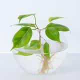 La planta con las raíces está en el tarro de cristal, florero En un fondo blanco Imagenes de archivo