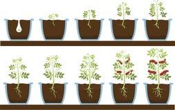 La planta crece ilustración del vector