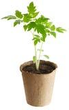La planta crece de un suelo fértil se aísla en un blanco Fotos de archivo