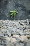 La planta crece en la grava Foto de archivo