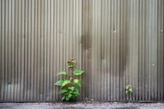 La planta creció a través de las piedras La planta creció de piso concreto Foto de archivo