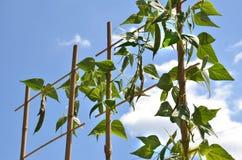 La planta de haba sube sobre la escalera de bambú, cielo azul en fondo Imagen de archivo