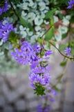 La planta de hadas de la flor de la fan Imagenes de archivo