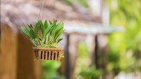 La planta de la orquídea colgaba en pote Foto de archivo