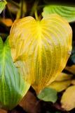 La planta de las hojas de otoño, verde y amarilla del hosta se va Fotos de archivo libres de regalías