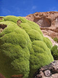 La planta de Llareta (compacta) de Azorella - algo es es 3000 años Imágenes de archivo libres de regalías