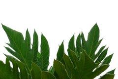 La planta de los ?rboles del pan se va con las ramas en el fondo aislado blanco para el contexto verde del follaje imagen de archivo libre de regalías