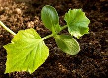 La planta de semillero delicada del pepino Foto de archivo libre de regalías