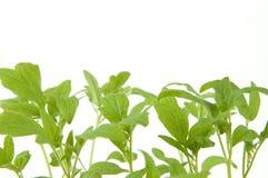 La planta de semillero sale de macro Imagen de archivo libre de regalías