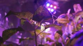 La planta debajo de la lámpara llevada Spector especial L?mpara ultravioleta almacen de metraje de vídeo