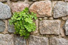 La planta del celandine en los bloques de piedra imagenes de archivo