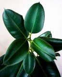 La planta del elastica de los ficus hojea con el fondo blanco aislado foto de archivo libre de regalías