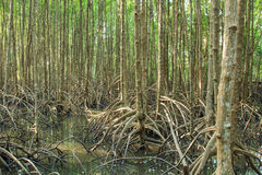 La planta del mangle Fotos de archivo