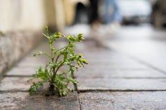 La planta, el diente de león amarillo crece a través de la grieta en el hormigón, carretera de asfalto Imágenes de archivo libres de regalías